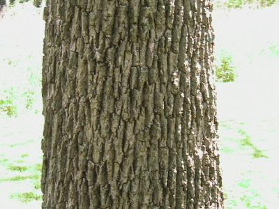 Bark of a Black Walnut Tree